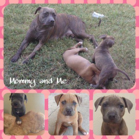 Large Breed Dogs For Sale Dallas Tx