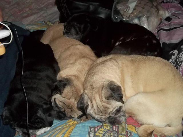 pug puppies for sale in ct pure breed pug puppies for sale in baltic connecticut 261