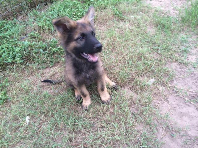 Pure Breed Registered German Shepherd Puppies - 11