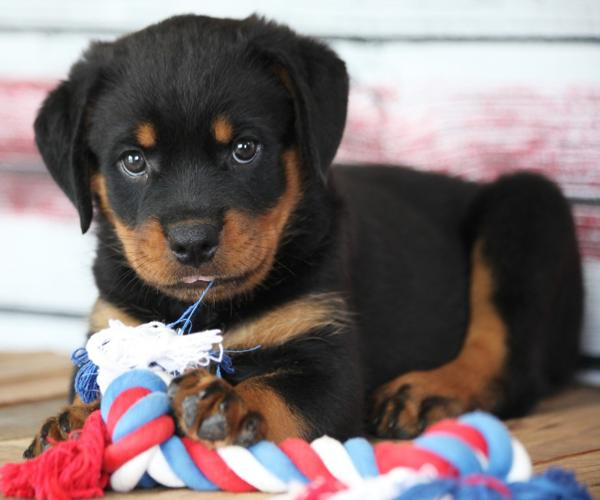 Pure German Rottweiler Puppies Ready for sale
