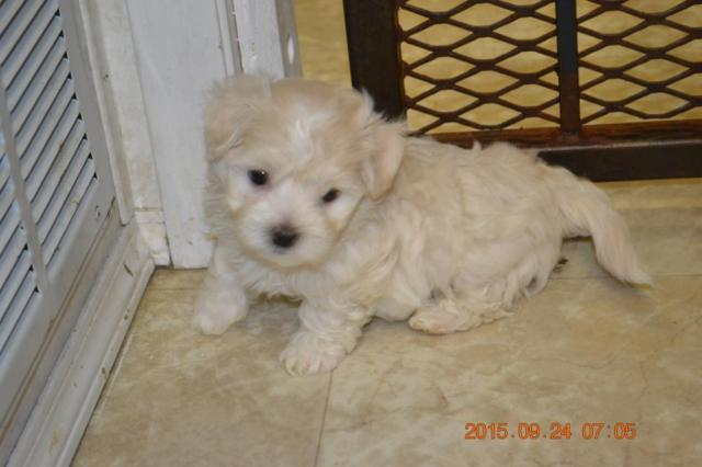Pure Maltese Puppies For Sale For Sale In Obrien Florida
