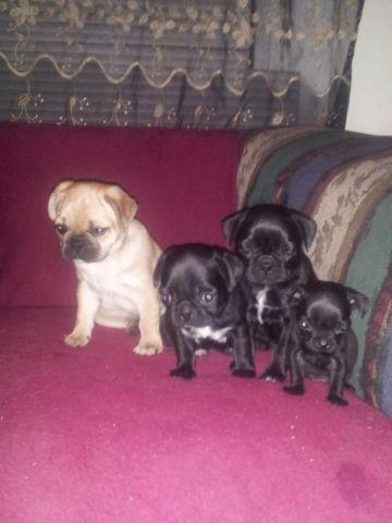 pug breeders in va pure pug puppies for sale in roanoke virginia classified 7518