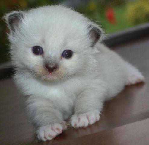 Pure Ragdoll Kittens For Sale Born 7-17 TICA Supreme