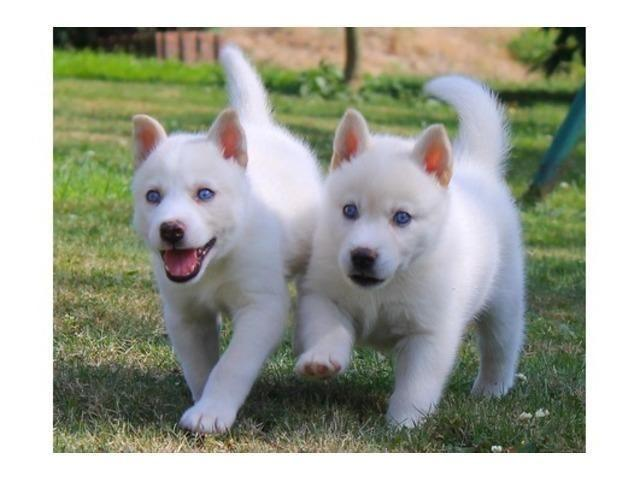 Pure White Siberian Husky Puppies Adorable For Sale In Tucson