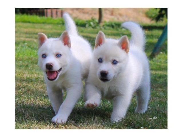 white siberian husky puppies - photo #42