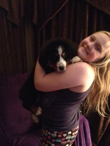 Purebred Bernese Mountain Dog Puppy For Sale In Milwaukee