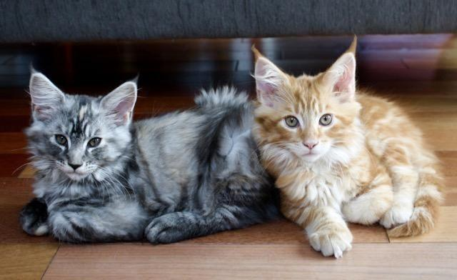 Purebred Adorable Maine Coon Kittens - 3 Months Old - Only Two Left!