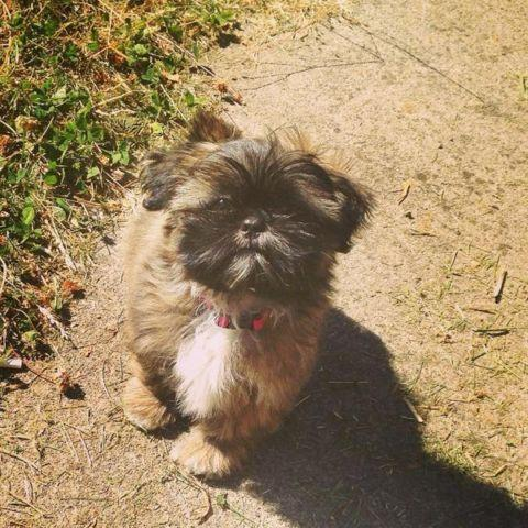 shih tzu purebred purebred akc shih tzu for sale in oregon city oregon 4832