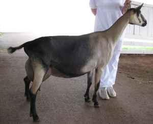 Purebred Alpine Dairy Goat Buck Service - $50 (Sugar Grove)