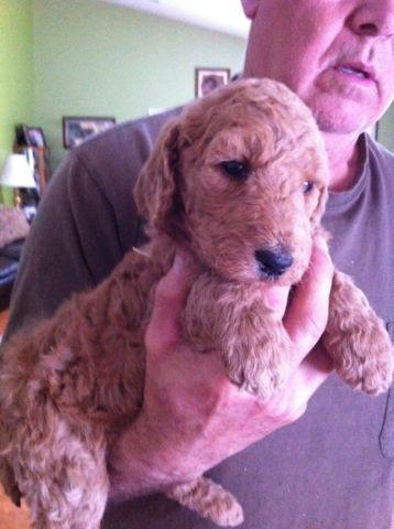 Purebred Apricot Standard Poodle Puppies For Sale In