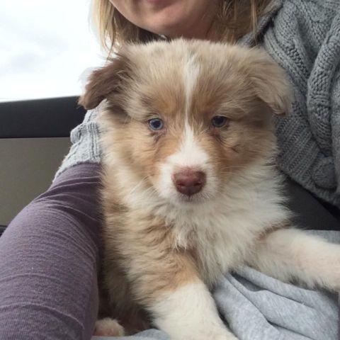 Purebred Australian Shepherd Puppy 8 Weeks Old For Sale In