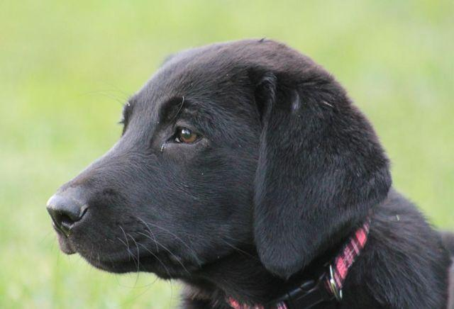 Purebred Black Lab Puppies Akc For Sale In Omaha