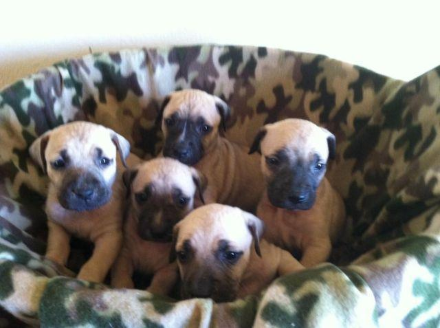 Purebred Black Mouth Cur Puppies For Sale In Tucson Arizona Classified Americanlisted Com