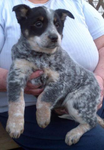 Purebred Blue Heeler Puppies For Sale In Hardinsburg