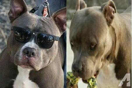 Razor Edge Red Nose Pitbull Puppies Classifieds Buy Sell Razor