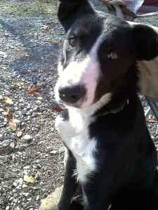 purebred border collie (adams/clarksville)