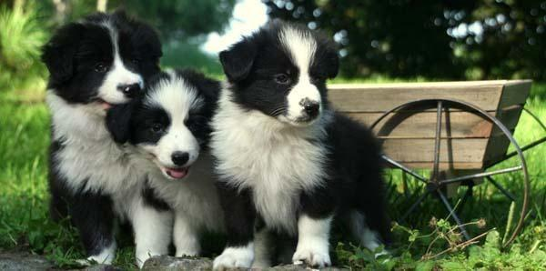 Purebred Border Collie Puppies 10 Wks For Sale In Lisbon Ohio