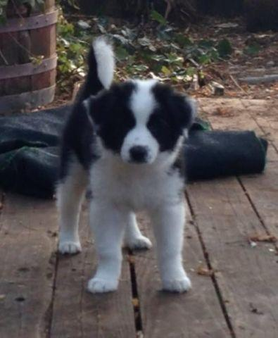 Border Collie For Sale In California Classifieds Buy And Sell In
