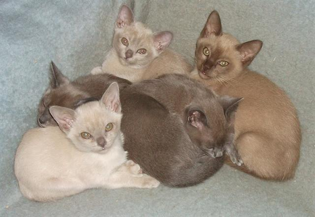 Purebred Burmese kittens ~ Chocolate ~ Sable