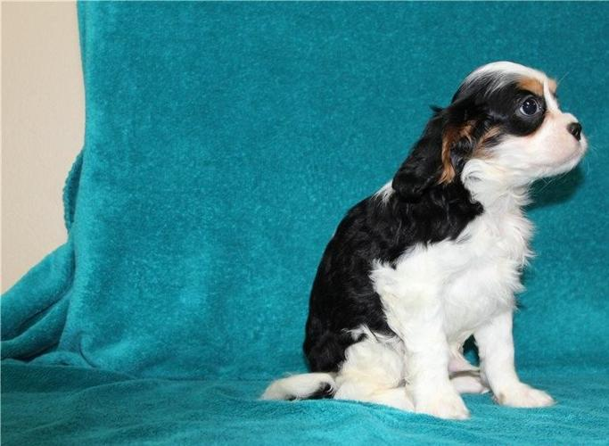 Purebred cavalier-king-charles-spaniel puppies