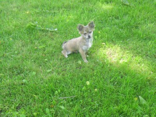 chihuahua puppies for sale in michigan purebred chihuahua puppy for sale in kimball michigan 4095