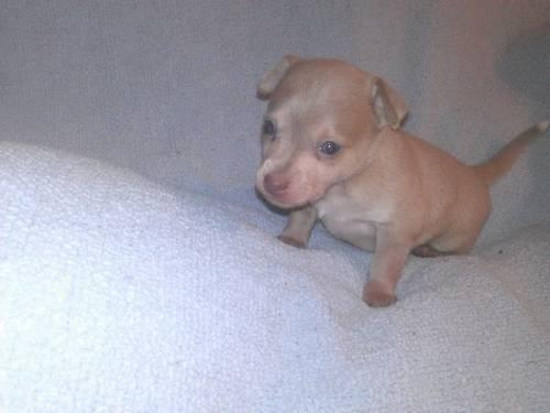 Purebred Chihuahua pups- 1 MALE AND 1 FEMALE for Sale in