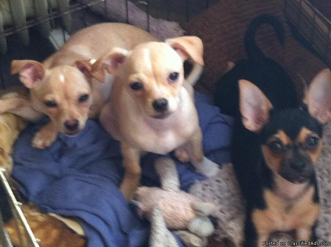 PUREBRED CHIHUAHUAS!!!!!! for Sale in Beaumont, Texas Classified : AmericanListed.com