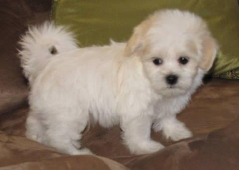 purebred coton de tulear puppies for sale 10 weeks old for sale in