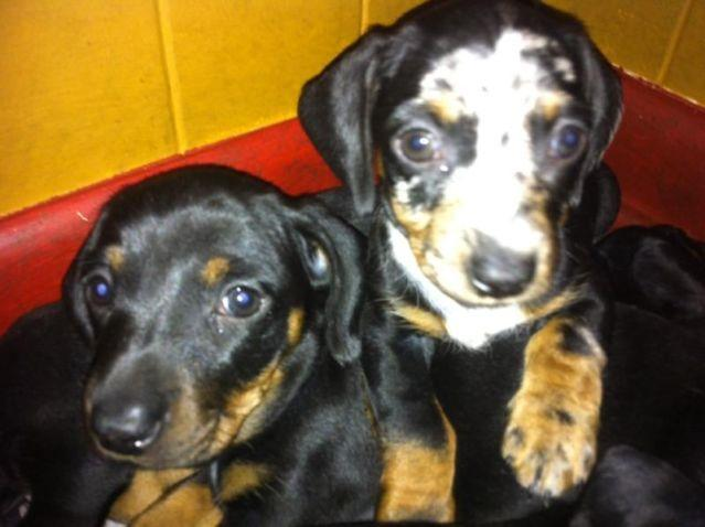 Purebred Dachshund Puppies For Sale In Lake City Florida Classified