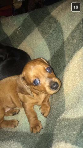Purebred Dachshund puppies for sale