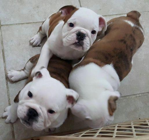 Purebred English Bulldog Puppies