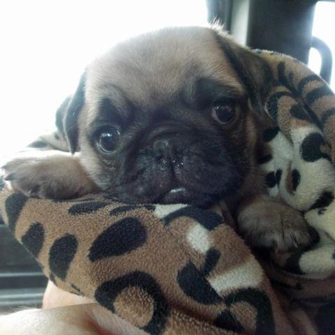 pug for sale seattle purebred fawn pug puppies for sale in seattle washington 6036