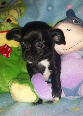 Purebred Female Applehead Chihuahua For Sale For Sale In Drakes