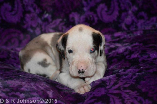 Purebred Female Great Dane ....PUZZLE