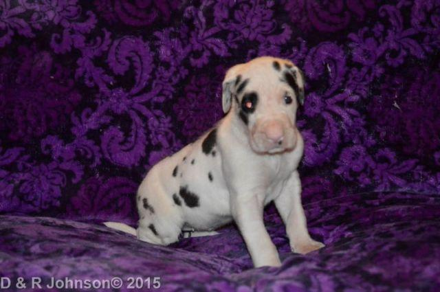 Purebred Female Great Dane SWEETHEART