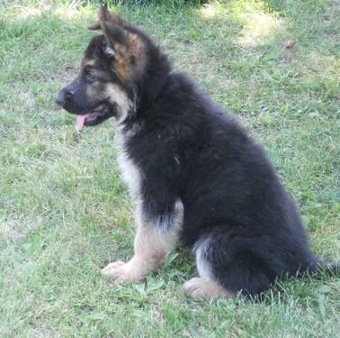 Purebred German Shepherd Puppies For