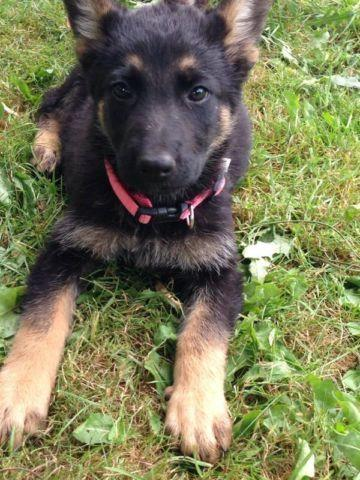 purebred german shepherd cost purebred german shepherd puppies for sale in marysville 5835