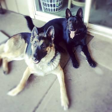 Purebred German Shepherd Puppies Mom And Dad Live On Site Together