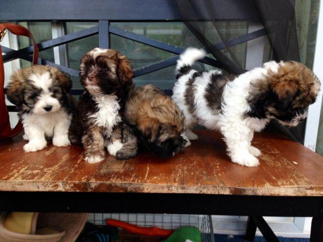 Purebred Havanese Puppies - Ready on November 7th for Sale ...
