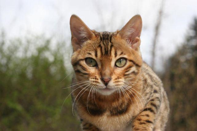 purebred leopard spotted bengal female kitten   5 months