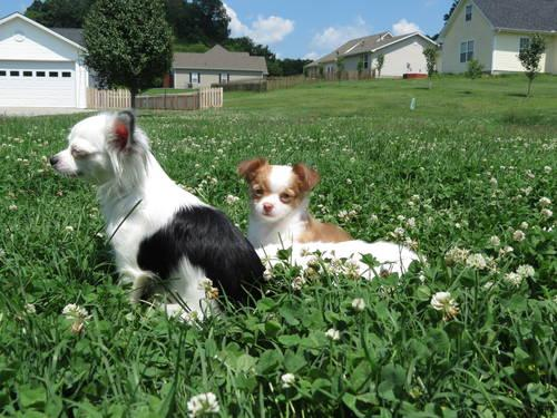 Purebred Long Hair Chihuahua Puppies For Sale In Knoxville