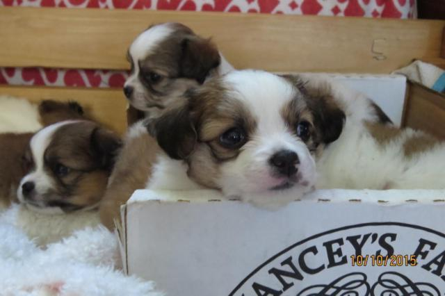 Purebred Long Haired Chihuhua Puppy