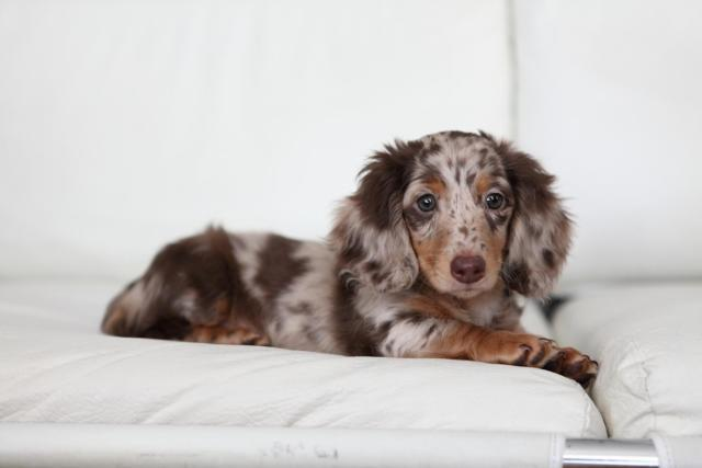 Purebred Longhair Mini Dachshund Puppies for adoption - 10 weeks Old