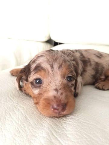 Purebred Longhair Mini Dachshund Puppies for adoption - 5 weeks Old