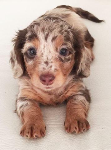 Purebred Longhair Mini Dachshund