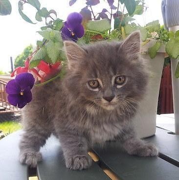 Maine Coon Kittens For Sale Seattle Purebred Maine-coon fl...