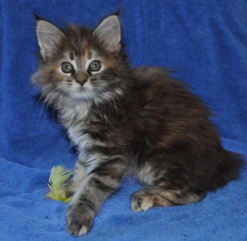 Purebred Maine Coon Kittens - 3 Females & 1 Male in Seattle Area