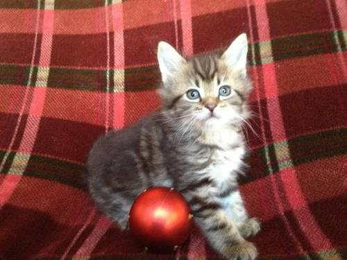 Purebred Maine Coon Kittens