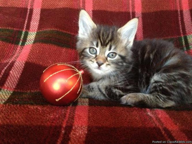Purebred Maine Coon Kittens For Sale In Knoxville Tennessee Classified Americanlisted Com