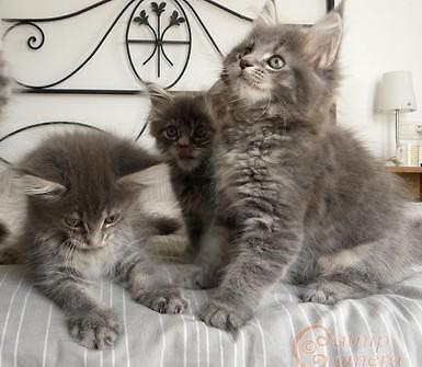 Maine Coon Kittens For Sale Seattle Purebred Maine-coon ki...
